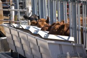 Cows eat at a special bunk, or trough, that records how much they eat and how long they stand at the bunk. MU Research Monty Kerley says that if farmers can selectively breed cattle, they could cut their feed costs by as much as 40 percent.