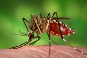 Female Aedes aegypti mosquito, the primary vector of human diseases caused by dengue and Zika. Credit: James Gathany - http://phil.cdc.gov/phil/home.asp - US Department of Health and Human Services