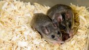 The California mouse is used as a model for examining parental behaviors because they are monogamous and, much like humans, both male and female partners contribute to neonatal-rearing.