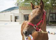 Stormy, a young foal, was successfully treated for Rhodococcus equi at the MU College of Veterinary Medicine. Philip Johnson cautions foal owners to remain vigilant for signs of the disease.