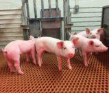 TGEV-resistant pigs
